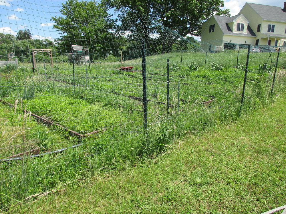 June 12 2016. Weeds weeds weeds, and still damaged garden fence!