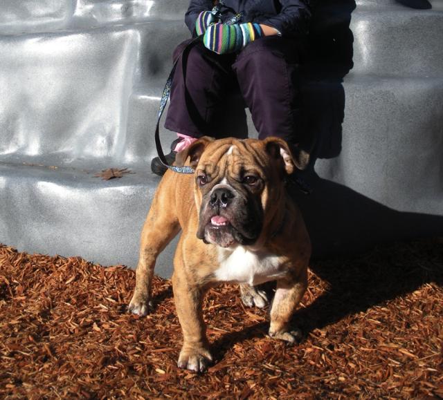 Buddha-Burien-Bulldog.png
