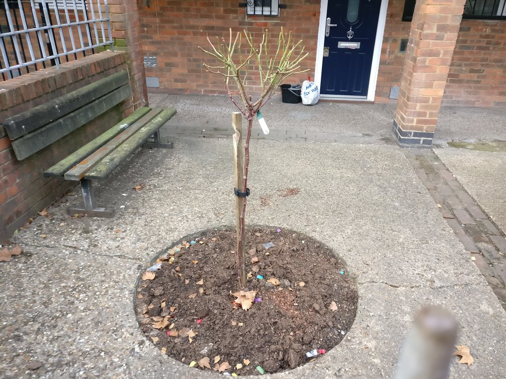 Linda's rose is planted, in memory of her mother Kate who used to live there