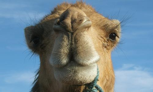 #camel, #marokko