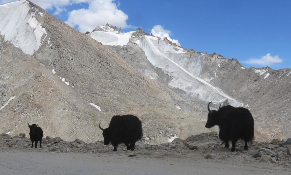 Yakkiperhe kuljeksimassa vuorilla. Nämä kaverit tarvitsevat min. 3000m korkeutta voidkaseen hyvin!