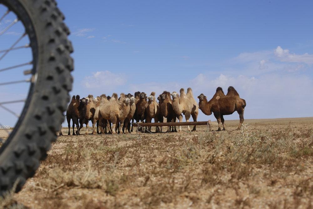 Jokaisella perheellä on apuna aina muutama kameli - niistä saadaan kantoapua, maitoa, kašmiria, lihaa...