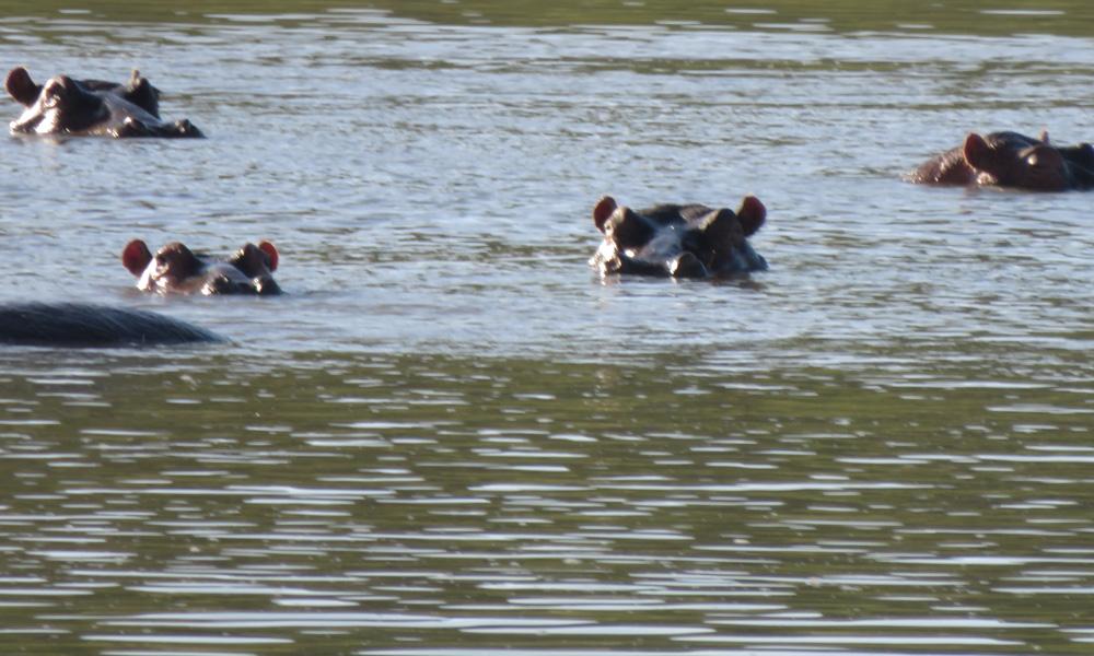 #virtahepo #hippo #pongola #pongolakansallispuisto