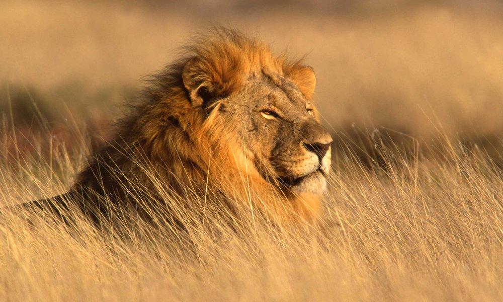 #leijona #krugerluonnonpuisto #eteläafrikkamoottoripyörällä #kwazulunatal
