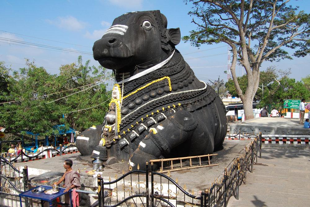 Ehkä Intian pyhin lehmä - Nandi