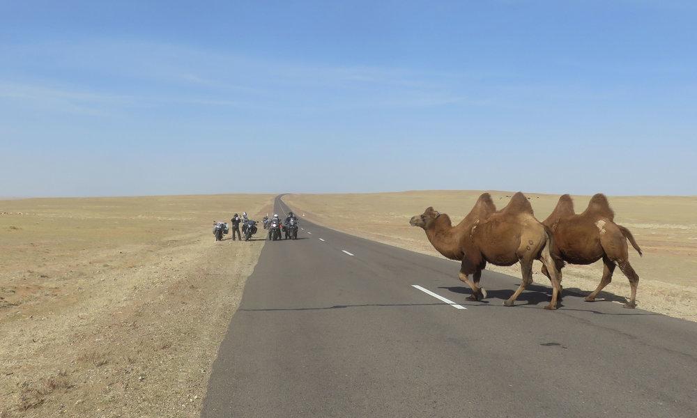 Lisää kameleita matkalla länteen... Suomeen?