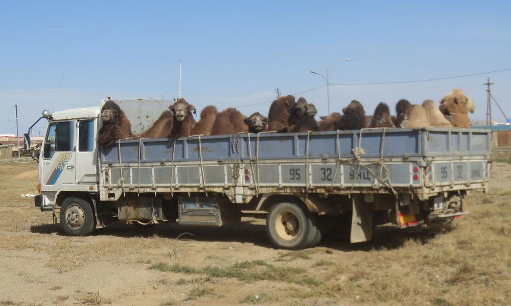 Kameleita matkalla pohjoiseen!?