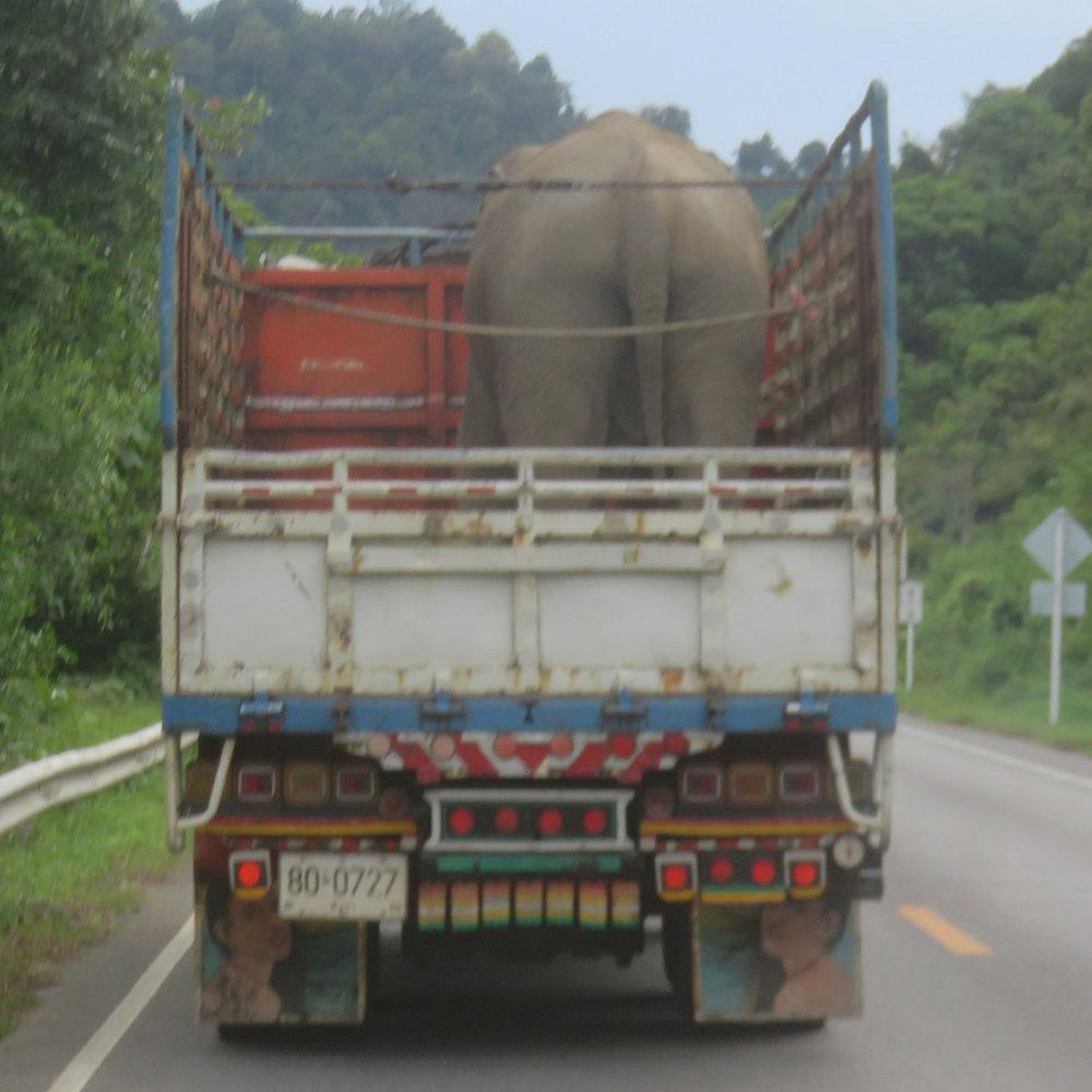 1 elefantti autossa!