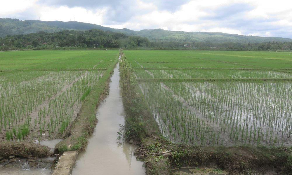 Jaavalta löytyy riisipelto...