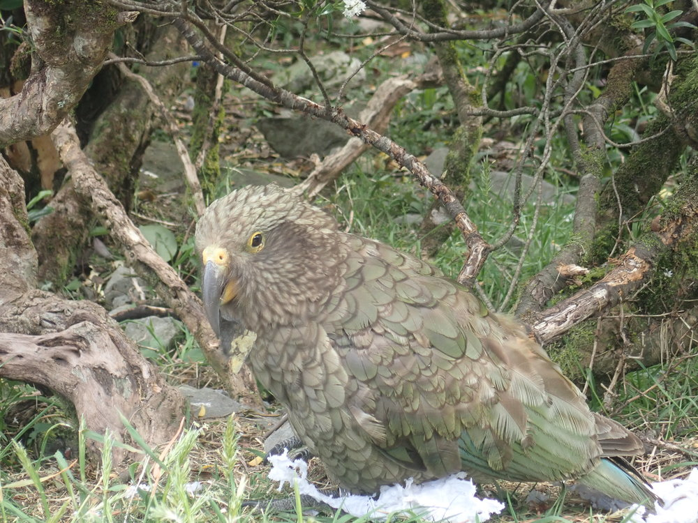 Kea on vanttera, rohkea ja utelias papukaijoihin kuuluva lintu. Se elää Uuden-Seelannin Eteläsaaren metsissä, vuoristoalueilla ja avomailla.