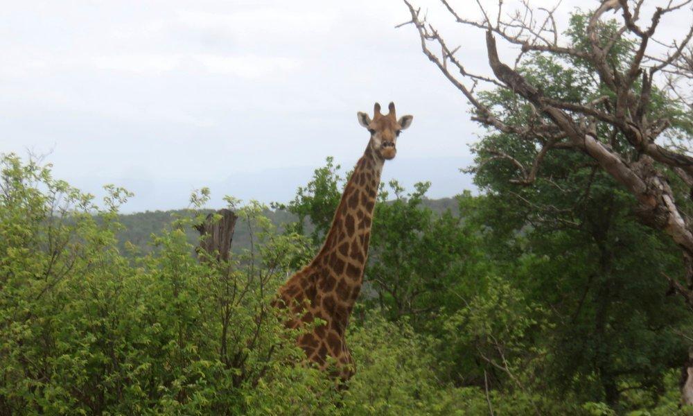 Kirahvi katselee kun turisti juo safarikahvia!?
