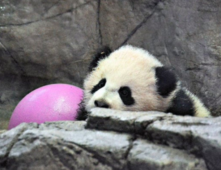 Friend of the National Zoo member Daniel Reidel didn't let rain keep him from seeing Bao Bao in action. He got in line at 6:15 a.m. to enter the panda house right when it opened at 8 a.m. to zoo members on Jan. 11, 2014. His patience paid off. (Dan Reidel / WaPoExpress' Flickr group)