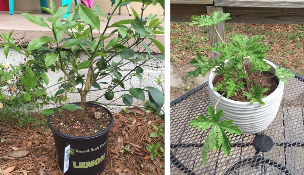 Our lemon tree is getting potted this weekend so that we can bring her inside during the winter.  I'm hoping our Citronella plant will help keep the mosquitoes away