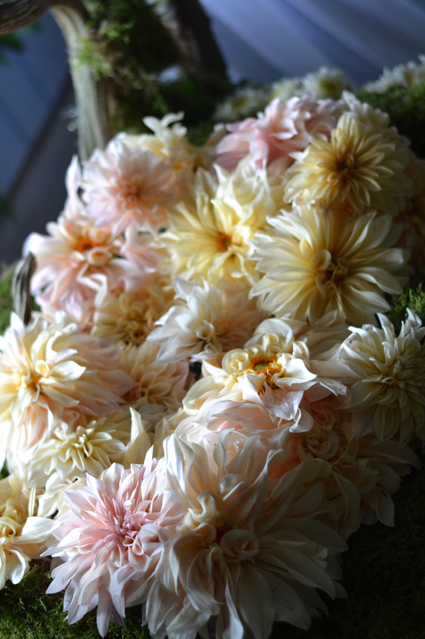 "'Cafe au Lait' Dahlia ""pillow.""  Photo by Susan Studer King"