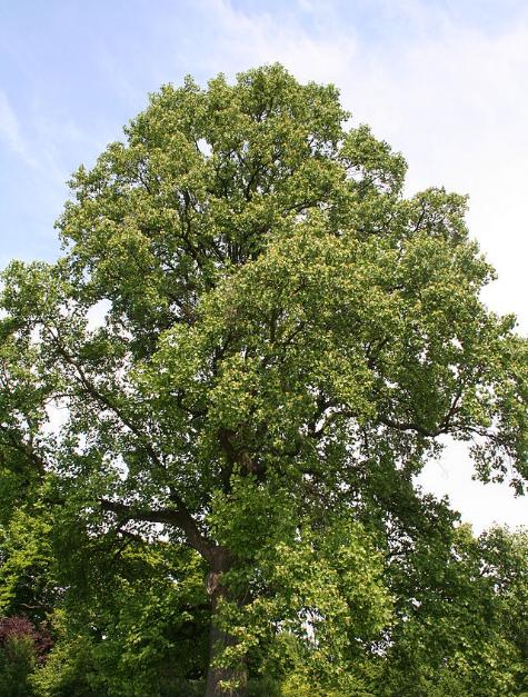 640px-Liriodendron_tulipifera_(arbre)_-_Laeken.JPG
