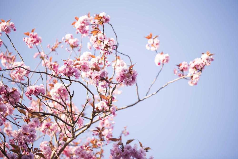 Cherry Blossoms (4 of 10).jpg