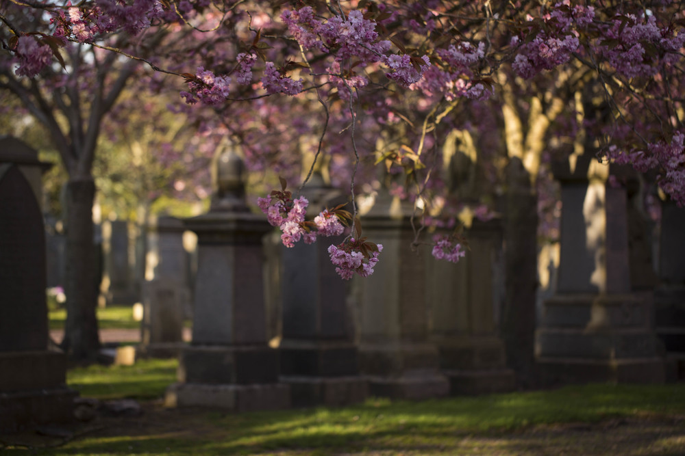 Cherry Blossoms (5 of 10).jpg