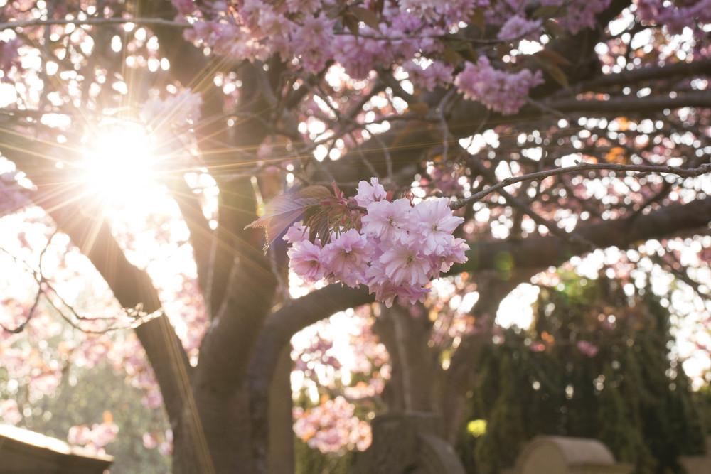 Cherry Blossoms (6 of 10).jpg