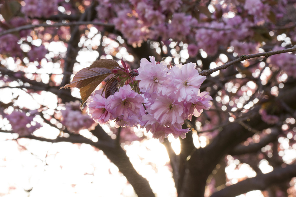 Cherry Blossoms (7 of 10).jpg