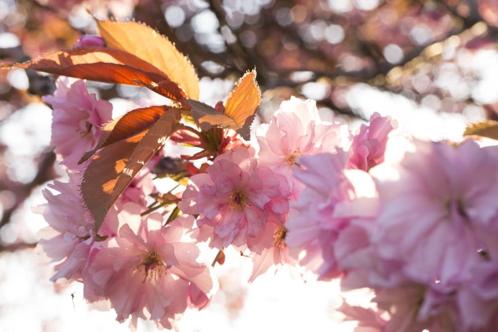 Cherry Blossoms (8 of 10).jpg