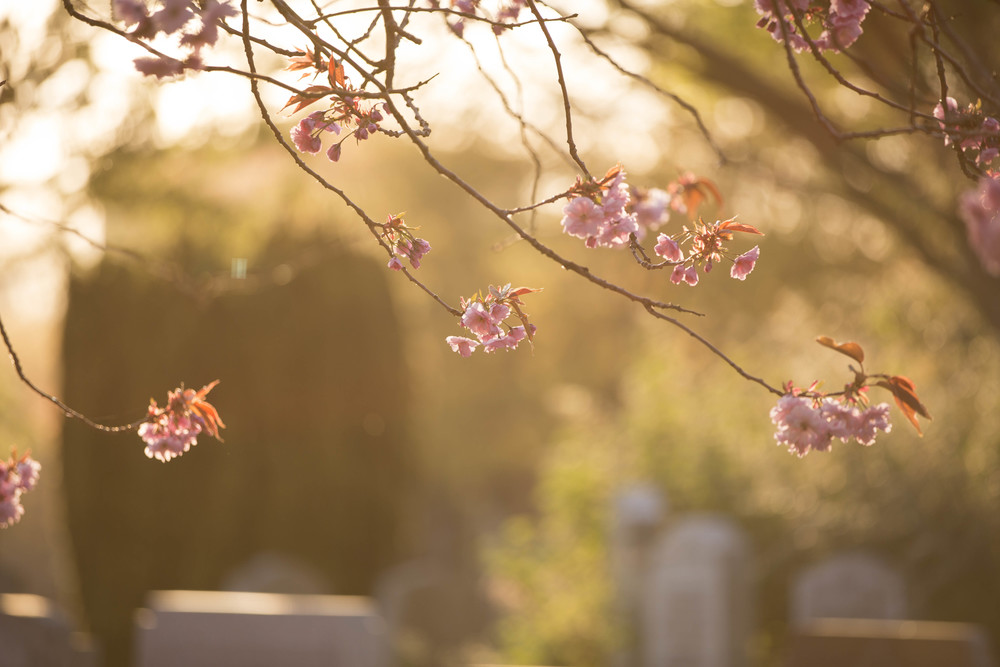 Cherry Blossoms (11 of 10).jpg