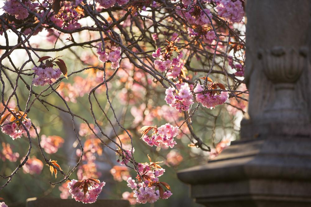 Cherry Blossoms (10 of 10).jpg