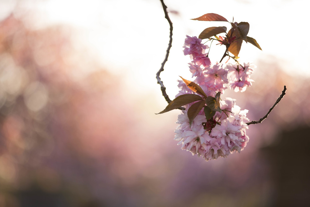 Cherry Blossoms (2 of 1)-2.jpg