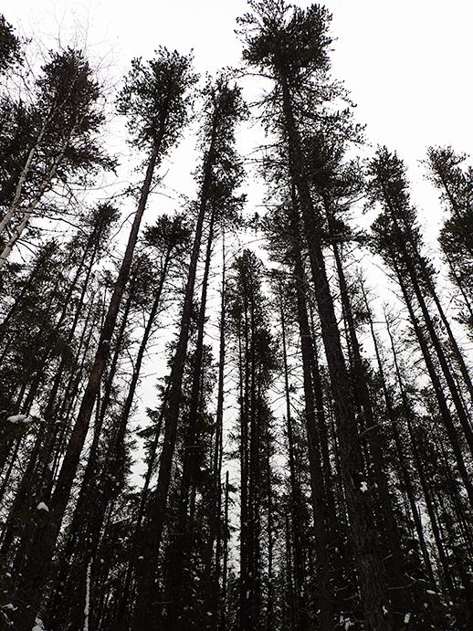breathtaking trees in Kirkland Lake
