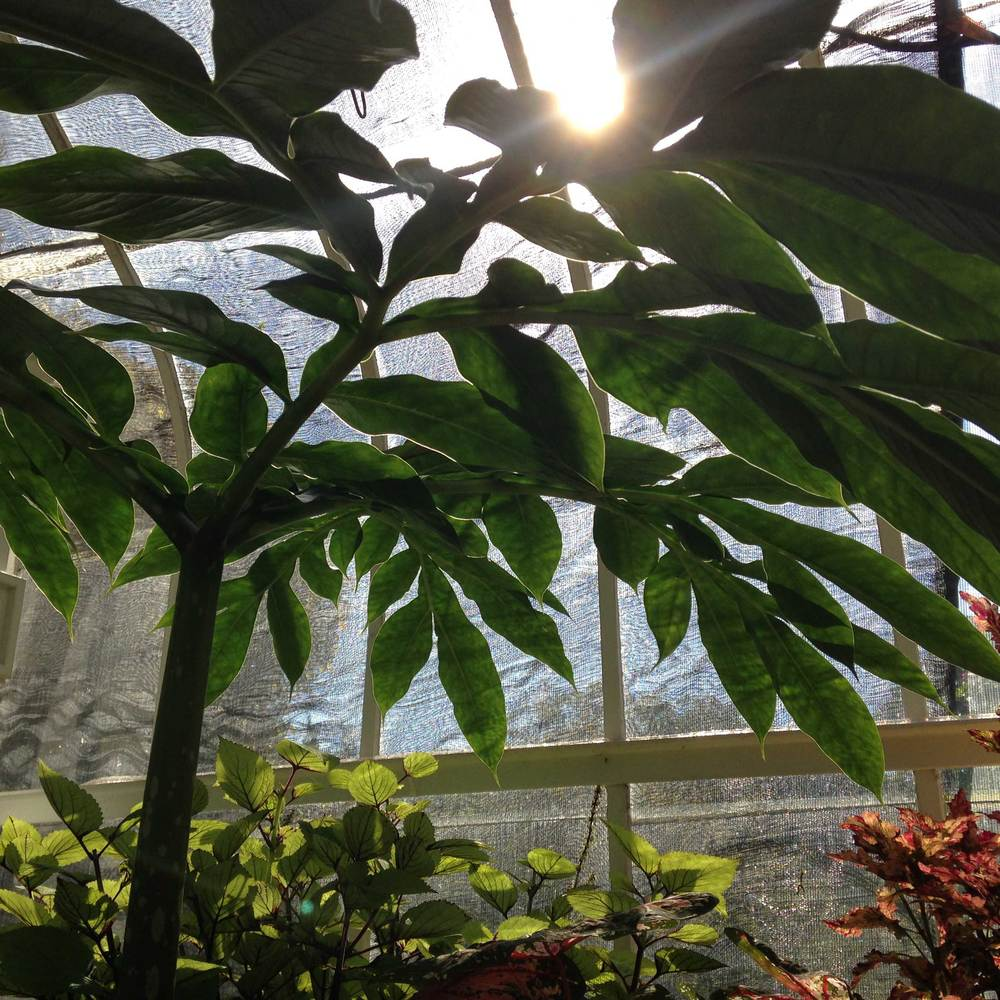 The sun breaks through a towering plant in Tacoma's Wright Park conservatory.