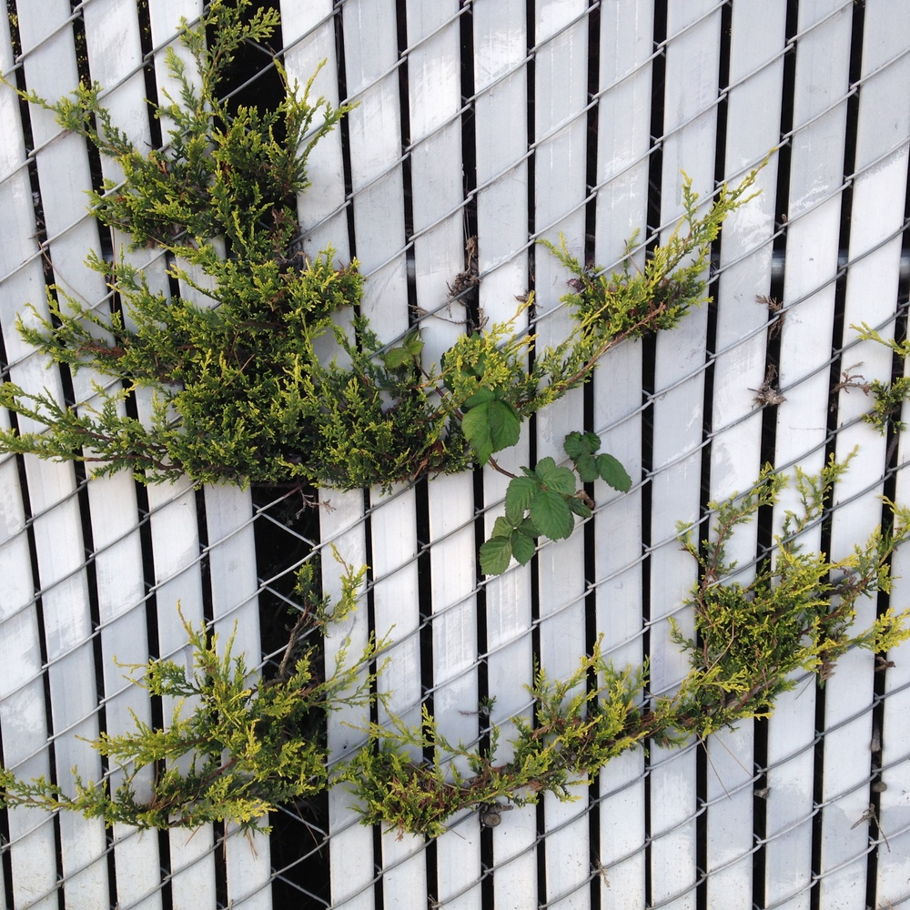 Plants bust through a chain link fence in South Seattle.