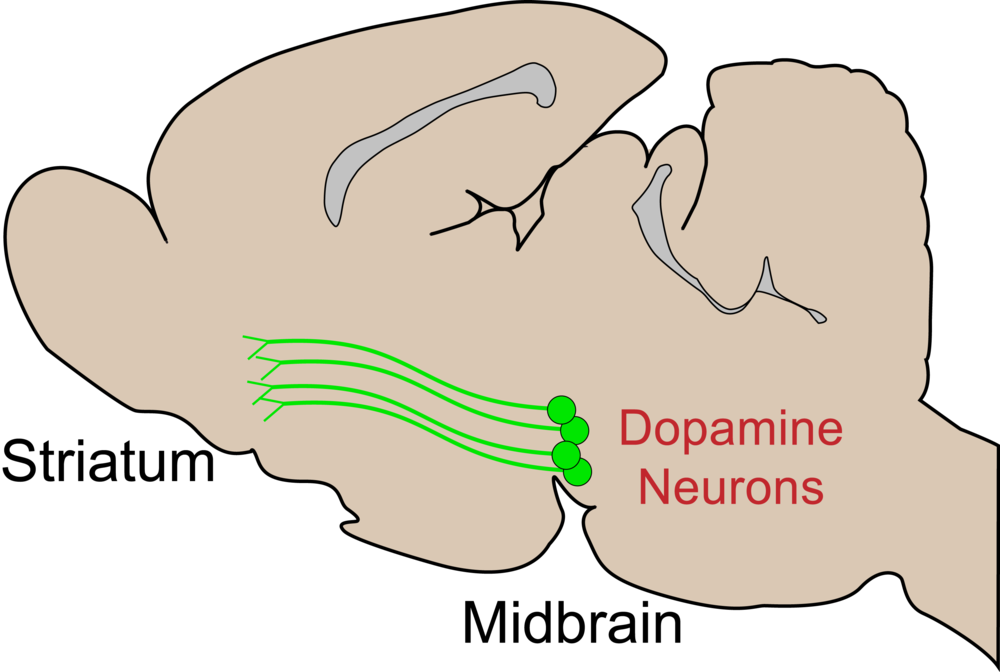 Neurons releasing dopamine arise from deep in the brain and project to a variety of regions, including the striatum, where their signaling influences reward-related processes. Shown is a cartoon of dopamine neurons in the rat brain, but the primary circuits are similar in humans.