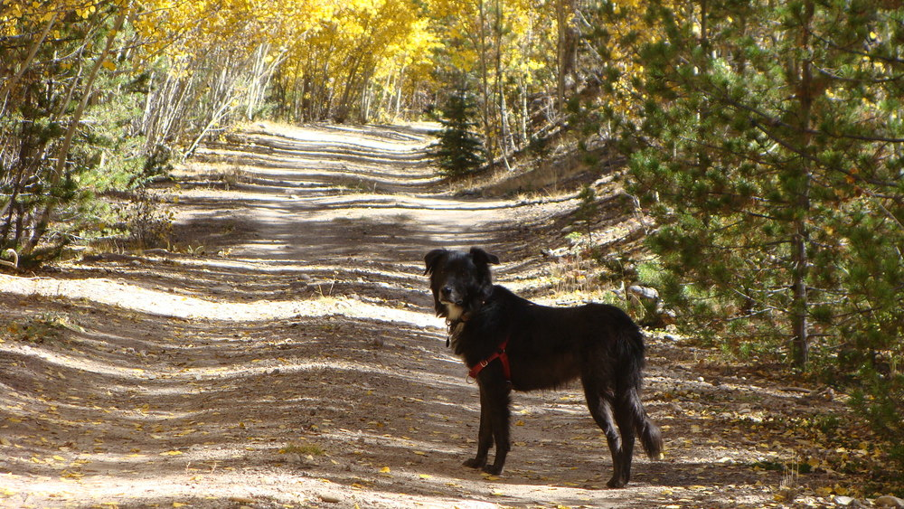 Happy dog pausing to pose on the trail ... 'come on Mom!'