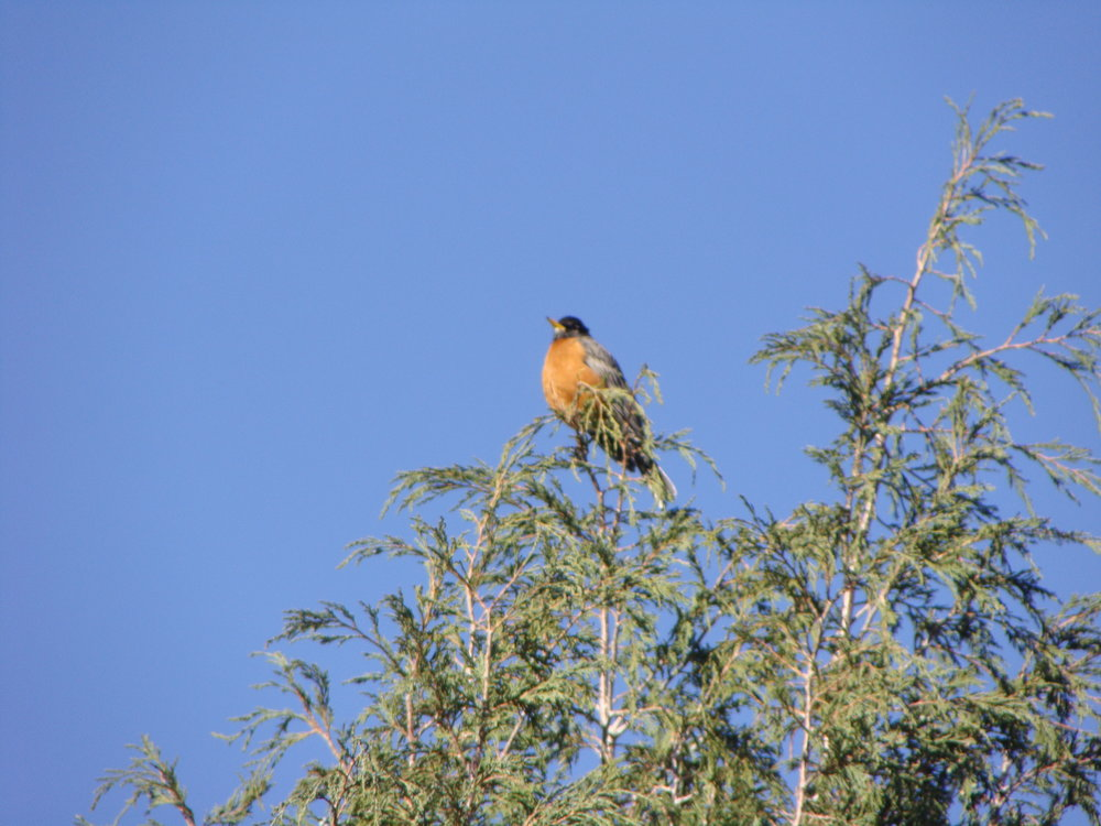 Robin sings and brings new beginnings of Spring