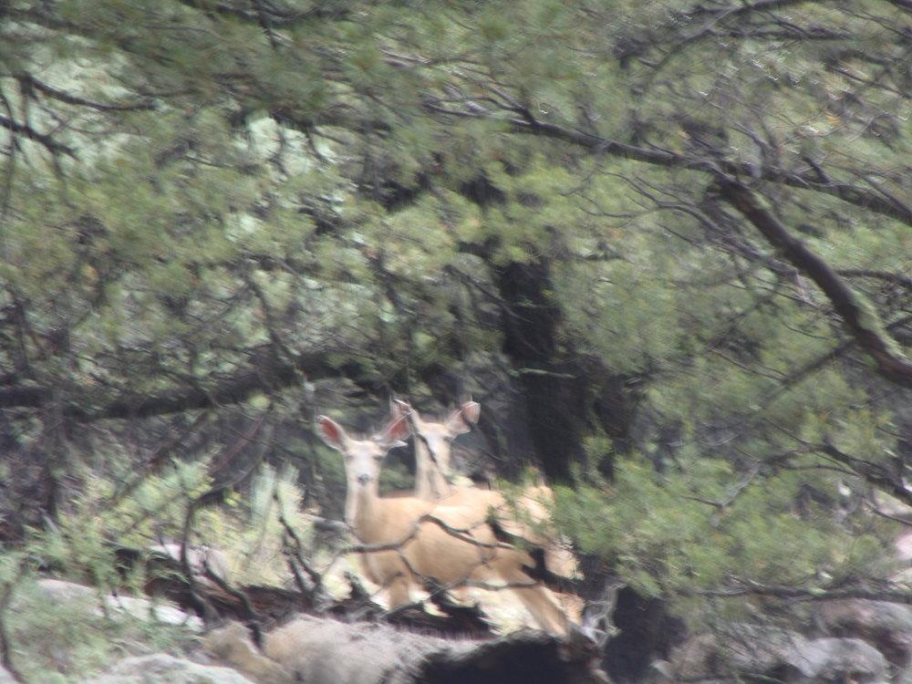 Curious Deer: Gentleness and Innocence - Gentle Luring to New Adventure    ( Ted Andrews, Animal-Speak )