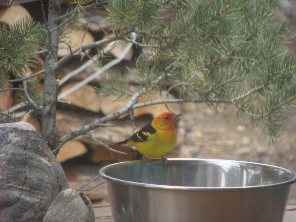 Sunday Visitor - First Western Tanager of the Season