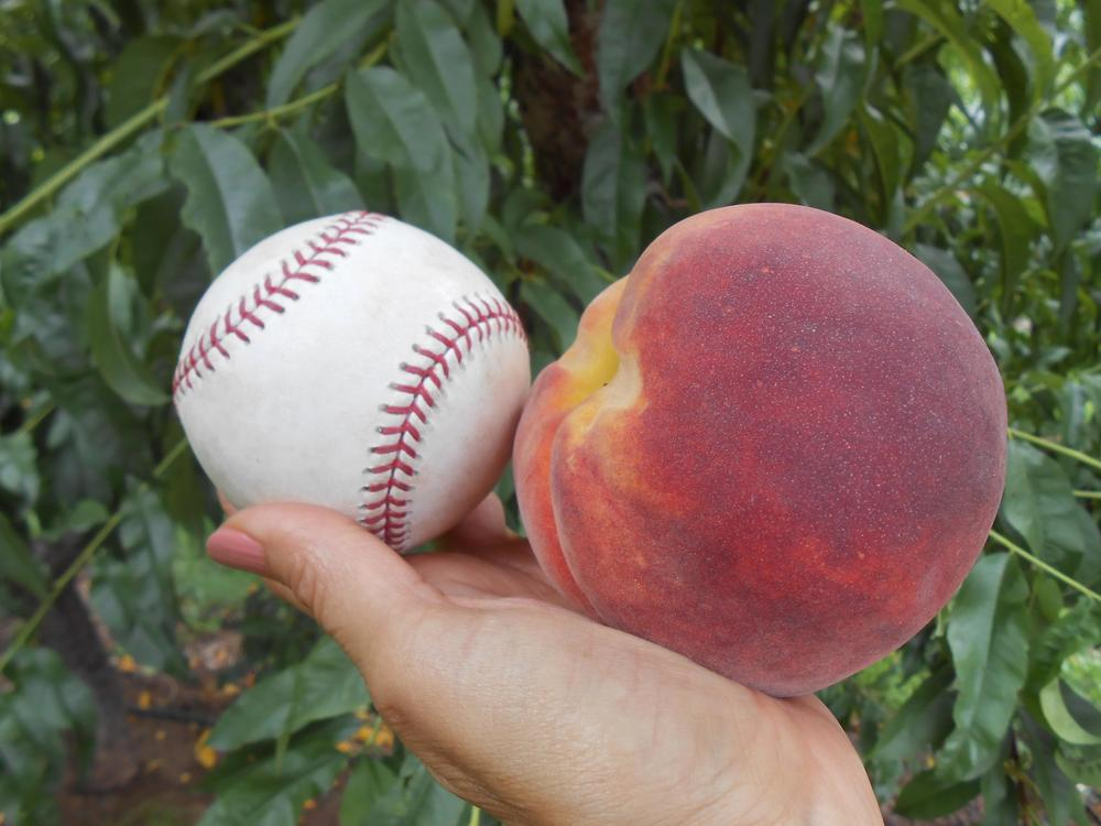 A little perspective – Jan Waggoner holds up a peach next to a baseball to demonstrate the size of her fruit. (Photo courtesy of Jan Waggoner.)