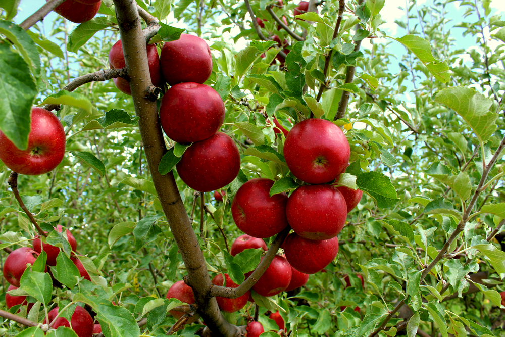 A group of Honey Crisp apples are ripe for the picking at Red Mountain Ranch.