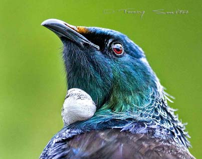 Tui. Photographic print by Tony Smith.