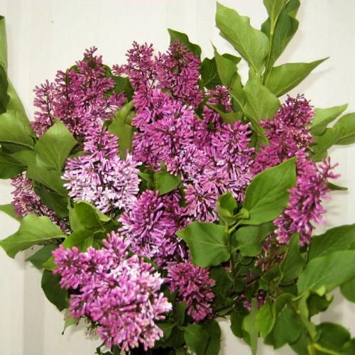 Lilac Korean