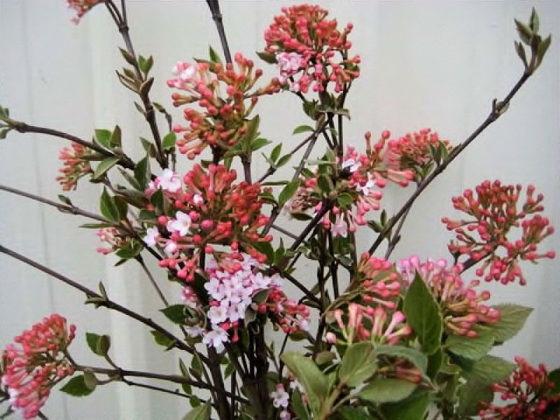 Viburnum Korean Spice