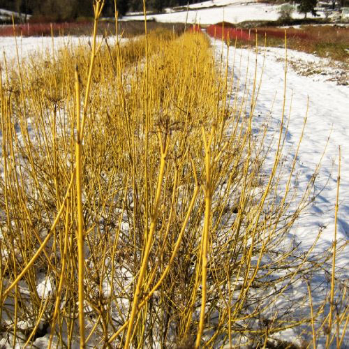 Dogwood Yellow Twig