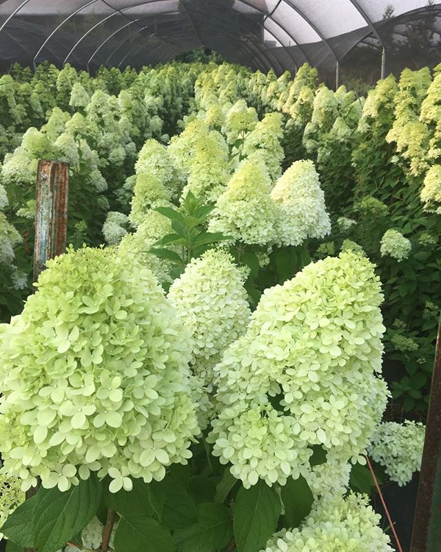 Limelight forest #peegee hydrangea#summer#kenyongrowers