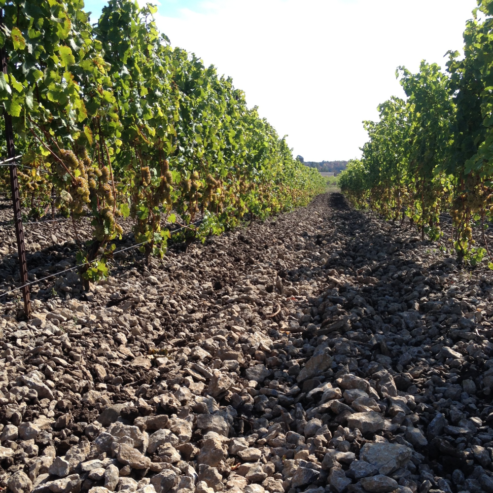 Look at this rocky Prince Edward County terroir.  Makes for gorgeous wine, yet challenging vineyard maintenance..JPG
