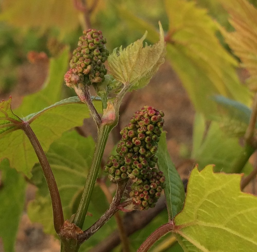 Grape inflorescence stage.  Each tiny floret will become a grape in these beginning bunches.