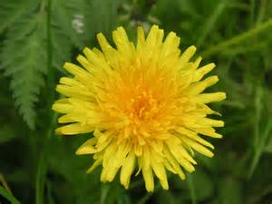 is a dandelion a weed or a flower north star people solutions