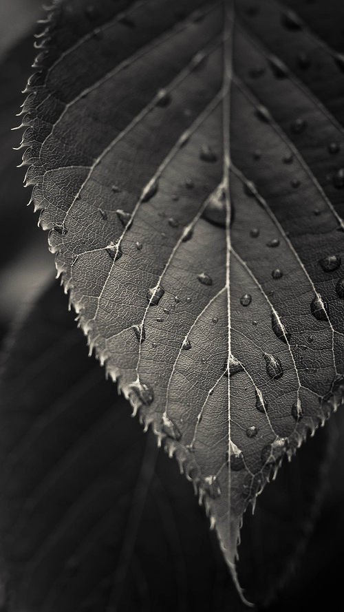 Gray Leaf Macro Iphone 6 Plus Wallpaper Ilikewallpaper Com