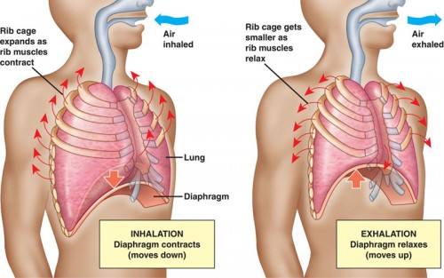 diaphragm-breathing-500x313.jpg