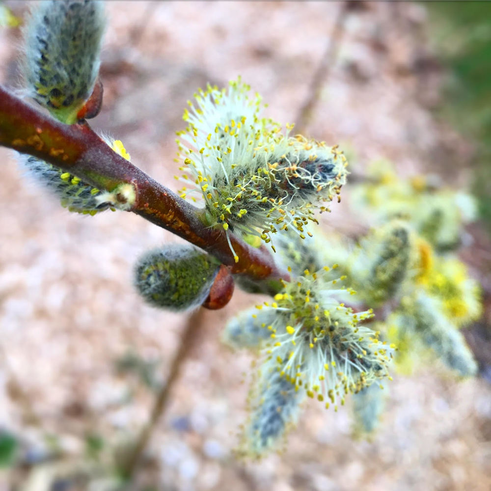 A close up of a prairie willow's ( Salix humilis ) spring catkin