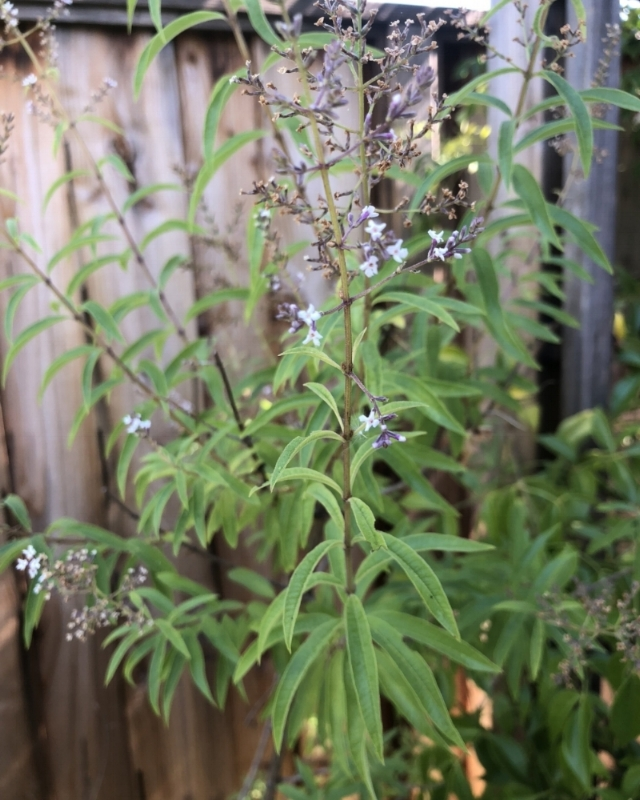 We love to grow Lemon Verbena in our backyard. The gorgeous leaves can be dried or steeped freshly into hot water to make a soothing herbal tea.