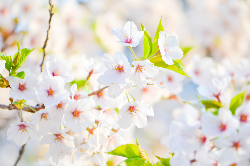 spring_break_march_madness_spring_forward_spring_bloom_flowering_tree_how_to_photograph_flowering_trees_white_bloom-1291265.jpg